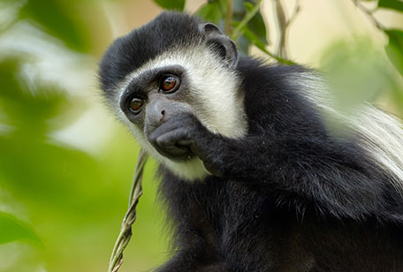 ms-colobus-monkey