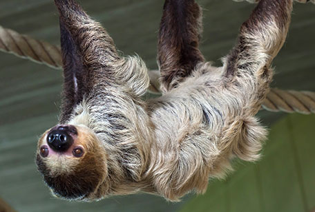 ms-two-toed-sloth