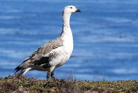 Lesser Magellan Goose