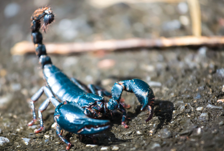 Malaysian Black Scorpion