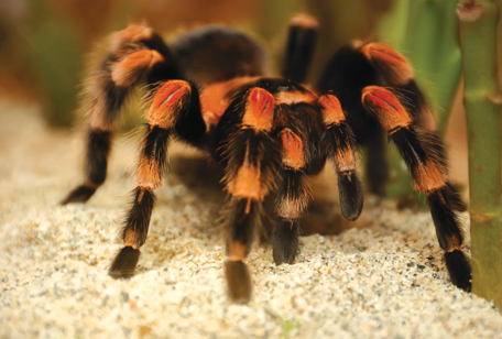 Mexican Red-legged Tarantula