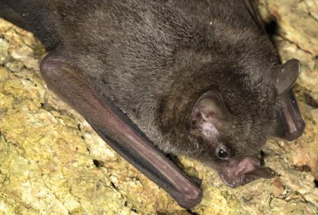 Seba's Short-tailed Bat