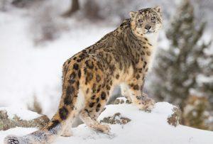 Snow Leopoard