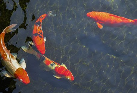 Koi Pond Feeding