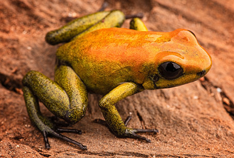 Bi-colored Poison Dart Frog