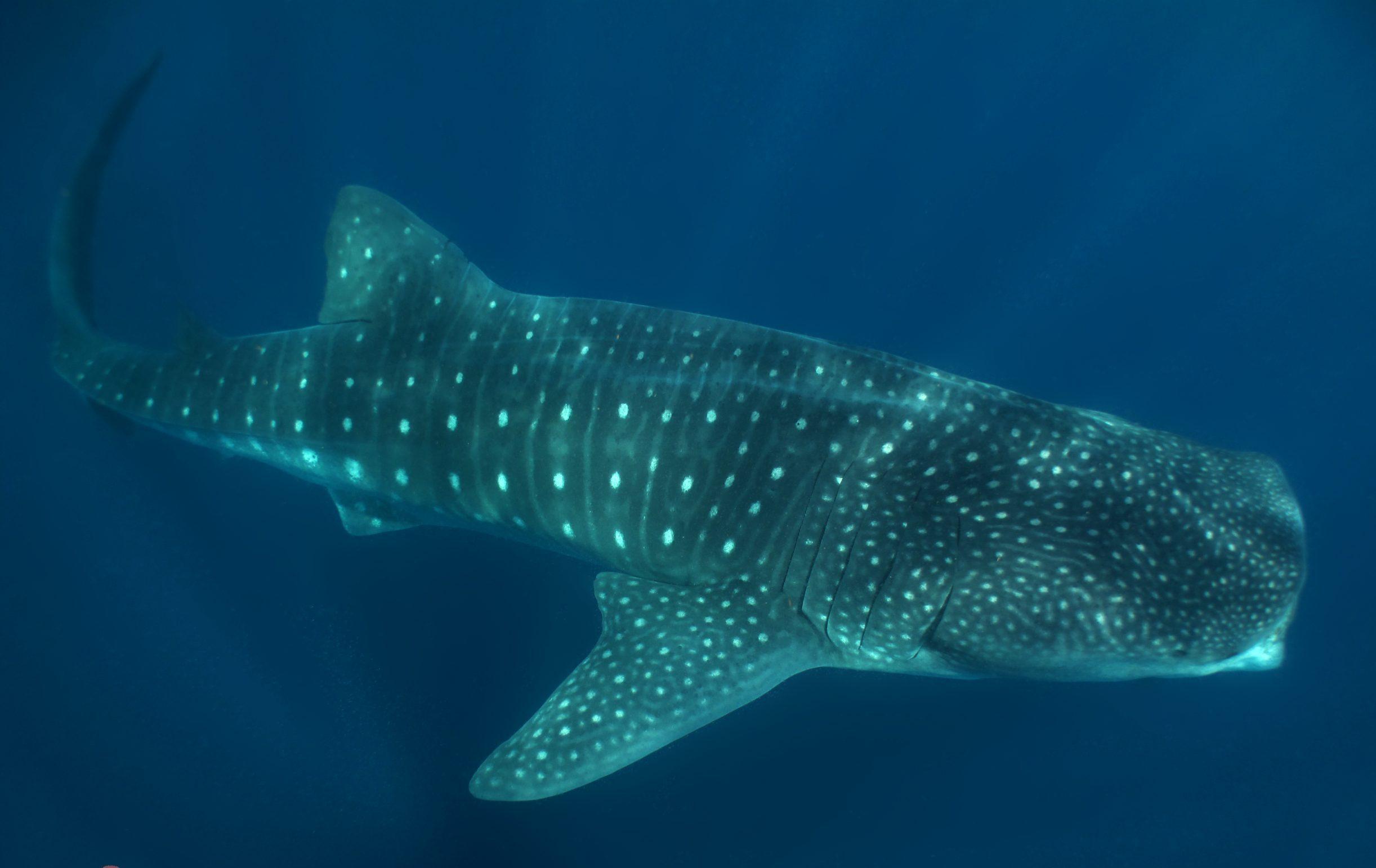 whale-shark-full-body