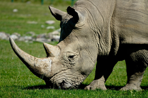 white-rhino-grazing-300x200px